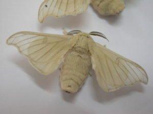 Seta Uzbekistan farfalla