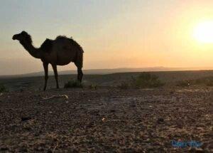 camello_yurta_uzbekistan